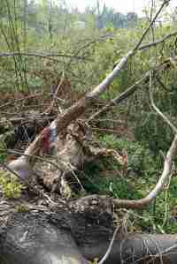 Via Francigena fallen tree