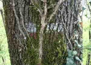 Via francigena tree sign