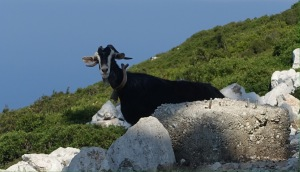 Ithaca Greece goat