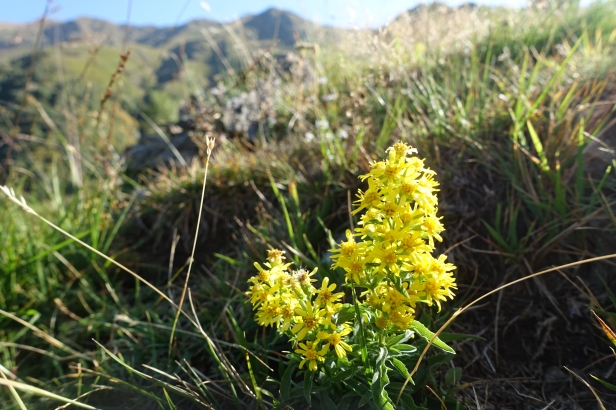 wild flowers ticino