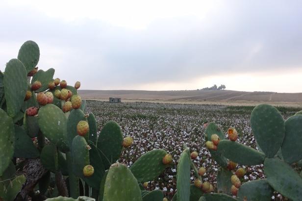 Prickly Pear Guillena Via de la Plata