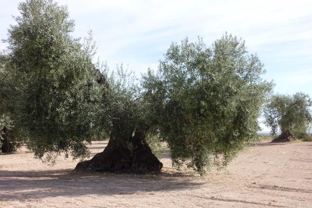 olive trees via de la plata