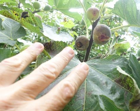 Figs Along the Camino Sanabrés